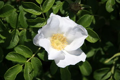 blossom(0.0), shrub(0.0), garden roses(0.0), gardenia(0.0), flower(1.0), rosa rubiginosa(1.0), rosa canina(1.0), flora(1.0), rosa multiflora(1.0), rosa pimpinellifolia(1.0), rosa rugosa(1.0), petal(1.0),