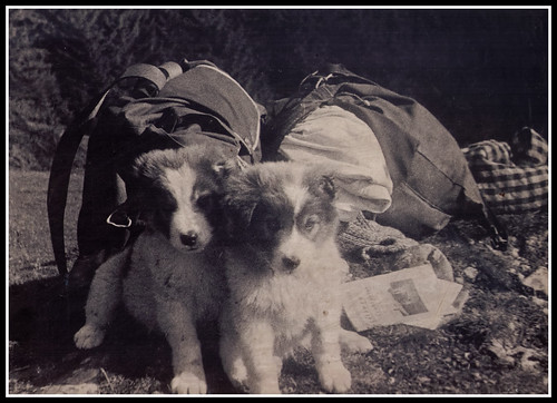Romanian Sheepdog Puppies - circa 1965