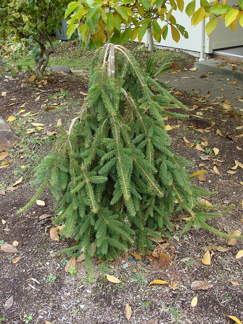 weeping norway spruce | Flickr - Photo Sharing!