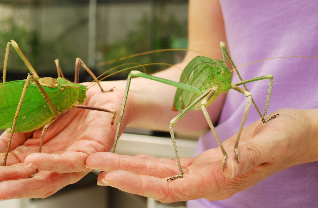 Giant Long-Legged Katydids | Flickr - Photo Sharing!
