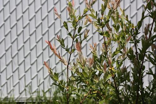 saradiya 39 s arbuste japonais folia