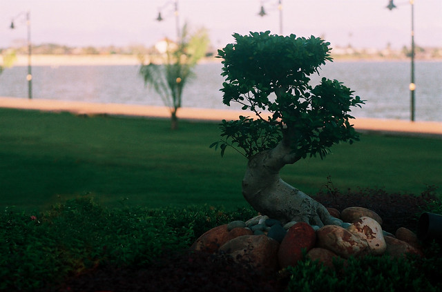 A lonely bonsai in The Heritage Bay (CNV000011)