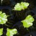 Ricciocarpus