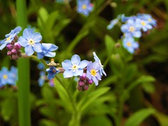 flower, plant, macro photography, wildflower, flora, forget-me-not,