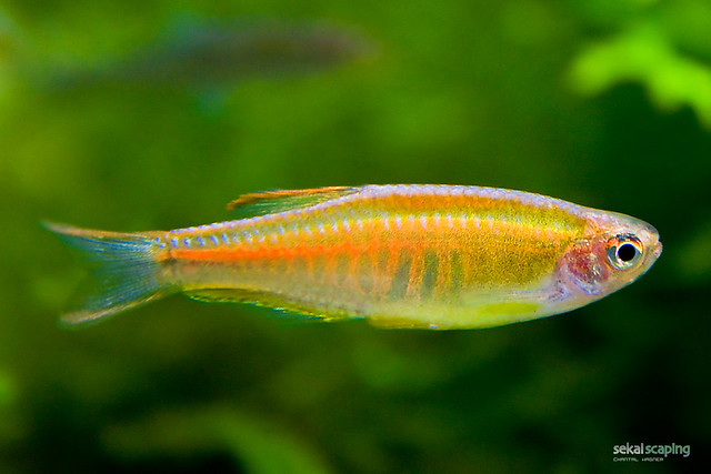 Danio choprae flickr photo sharing for Freshwater schooling fish