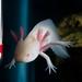 Gob the Axolotl by sharkhats