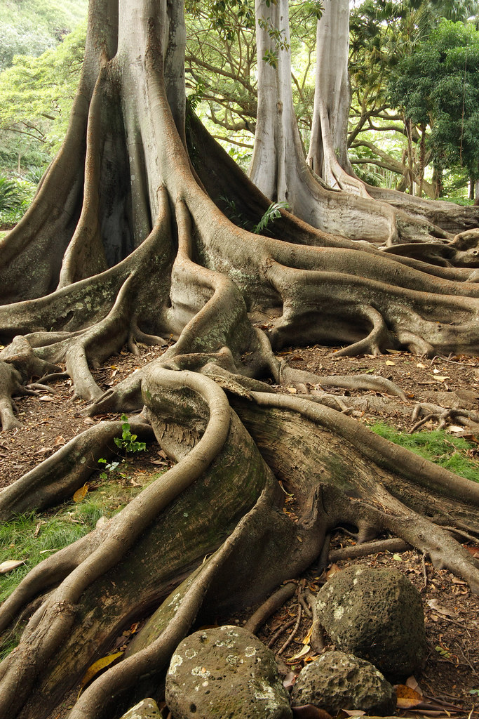 Giant Fig Tree Roots 1 Of 3 I Photographed These Giant