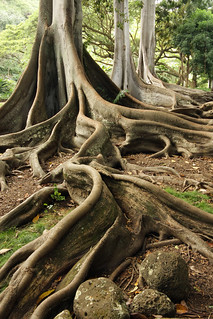 Giant Fig Tree Roots, 1 of 3