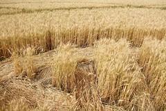 barley(0.0), wheat(0.0), phragmites(0.0), prairie(1.0), agriculture(1.0), triticale(1.0), rye(1.0), food grain(1.0), field(1.0), plant(1.0), harvest(1.0), food(1.0), crop(1.0), cereal(1.0), grassland(1.0),