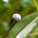 Eriocaulon decangulare Flower