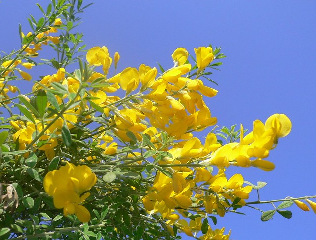 """Cytisus"" flowers (Ginestra)"
