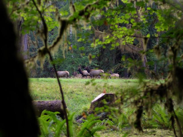 Hoh Rain Forest - Elk