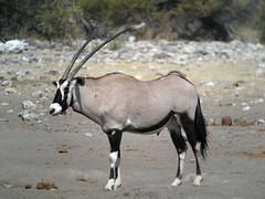 animal, antelope, gemsbok, mammal, horn, fauna, oryx, wildlife,