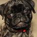 Pepper the Brindle Pug by cloudasmoke