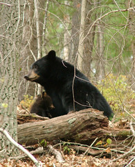 Black Bear, Appalachian Mountains