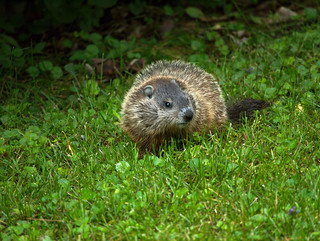 Woodchuck offspring in our yard