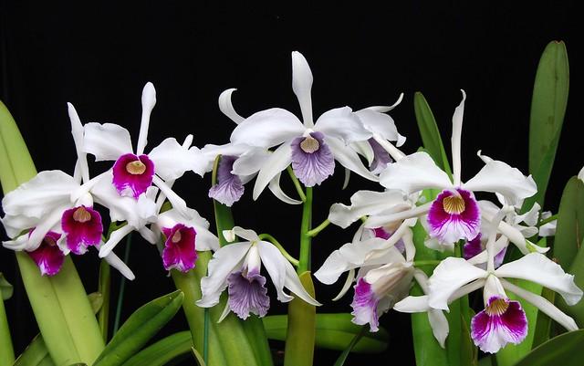 Laelia purpurata color forms