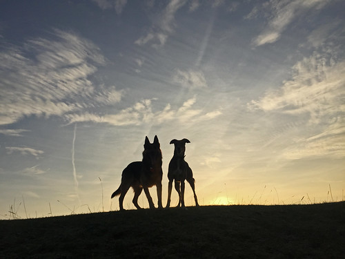 dogs silhouette german shepherd alsation wolf friends sunrise winter minchinhampton common torro cardboard cutouts horizon