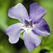Lesser Periwinkle - Photo (c) David Good, some rights reserved (CC BY-NC-ND)