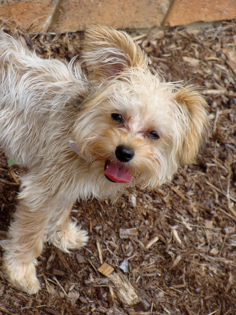Yorkipoo, Yorkshire Terrier and Poodle Mix - SpockTheDog.com  |Yorkie Poodle