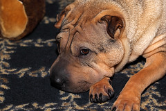 dog breed, animal, dog, pet, snout, shar pei, close-up, carnivoran,