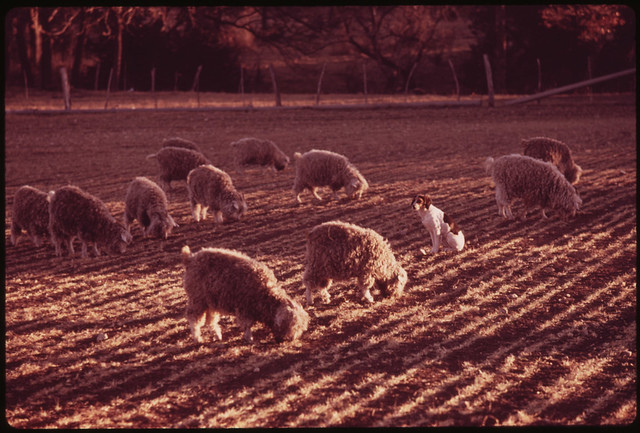 "Angora Goats, Herded by a ""Wild Dog"" on a Farm near Leakey Texas."