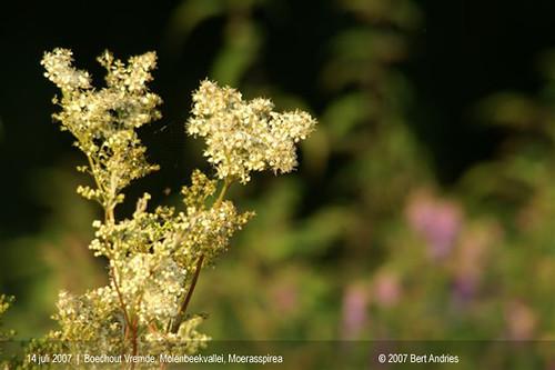 Boechout-Vremde, Molenbeekvallei, moerasspirea