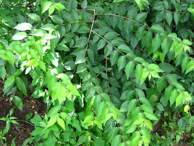 Lonicera japonica - Japanese Honeysuckle leaves   Flickr ... Lonicera Japonica Leaf