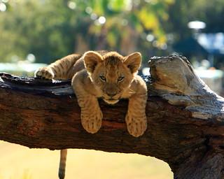 Lions & Lion Cubs
