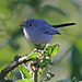 Gnatcatchers - Photo (c) Jamie Chavez, some rights reserved (CC BY-NC)