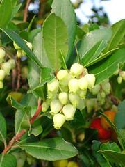 evergreen(0.0), shrub(0.0), hardy kiwi(0.0), malpighia(0.0), tree(0.0), produce(0.0), fruit(0.0), food(0.0), aquifoliaceae(0.0), aquifoliales(0.0), flower(1.0), leaf(1.0), plant(1.0), arctostaphylos uva-ursi(1.0),