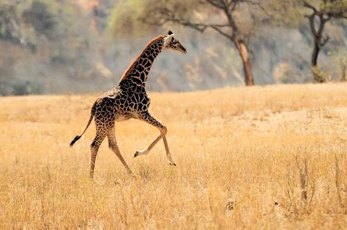 [フリー画像素材] 動物 1, 哺乳類, キリン ID:201108130800