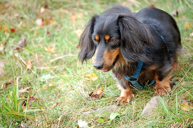 Sweet Cute Playful Mini Long Haired Dachshund Puppy