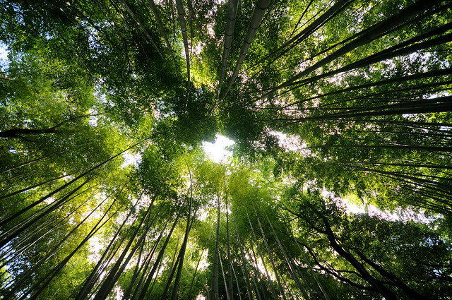 Bamboo forest, Kyoto.