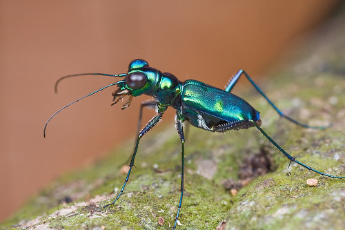 green tiger beetle IMG_9976b copy