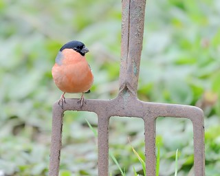 Male Bullfinch On Garden Duties