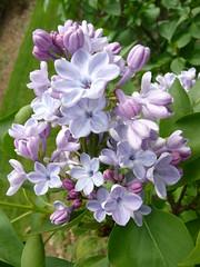 Skylands Lilacs