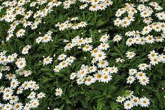 Argyranthemum pinnatifidum subsp. pinnatifidum (rq) - 02
