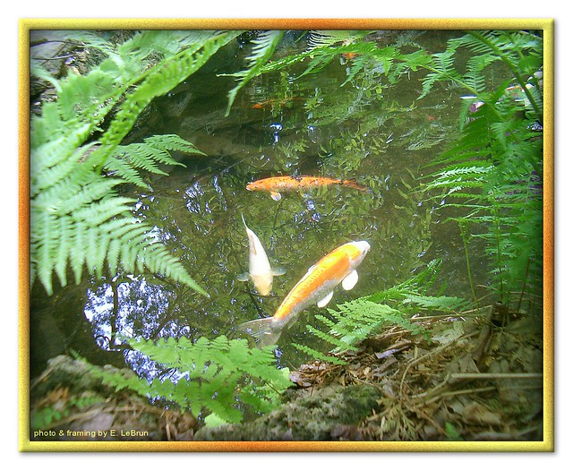Koi fish in the pool flickr photo sharing for Koi carp pool