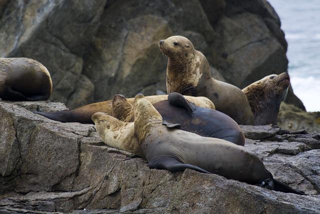 Leones marinos en el Parque Nacional de los Fiordos de Kenai. Alaska.
