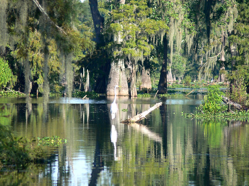 usa lake la bayou swamp cajun greatwhiteegret lakemartin cajuncountry vogonpoetry louisianawildlife cajuncountryswamptour zeesstof