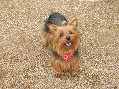 dog breed, animal, dog, pet, australian silky terrier, norfolk terrier, vulnerable native breeds, norwich terrier, cairn terrier, australian terrier, carnivoran, yorkshire terrier, terrier,