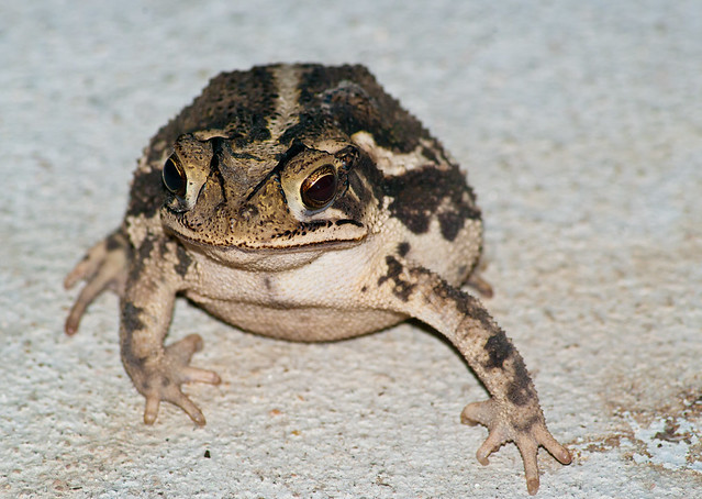 Coastal Plains Toad (Incilius nebulifer)