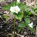 Small photo of Snow Trillium (Trillium grandiflorum)