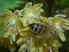 Ape su tiglio, si notino le zampe con il polline