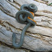 Regal Ringneck Snake - Photo (c) cool.as.a.cucumber, some rights reserved (CC BY-NC-ND)