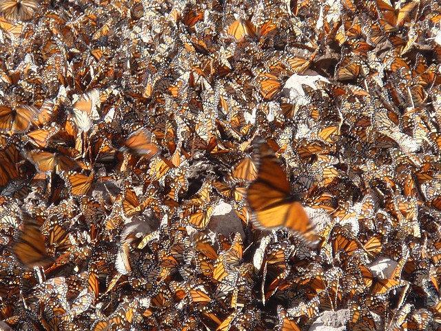 A swarm of Monarch but...