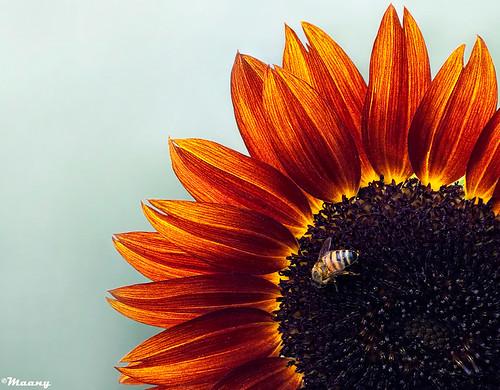 sun flower macro iran pentax bee sunflower mazandaran ایران گل بابلسر زنبور babolsar redsunflower مازندران k100d آفتابگردان ماکرو گلآفتابگردان ابوسعیدابوالخیر آفتابگردانقرمز