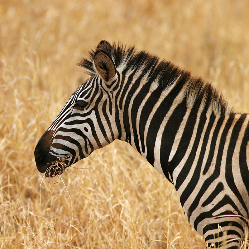Zebra face profile - photo#9