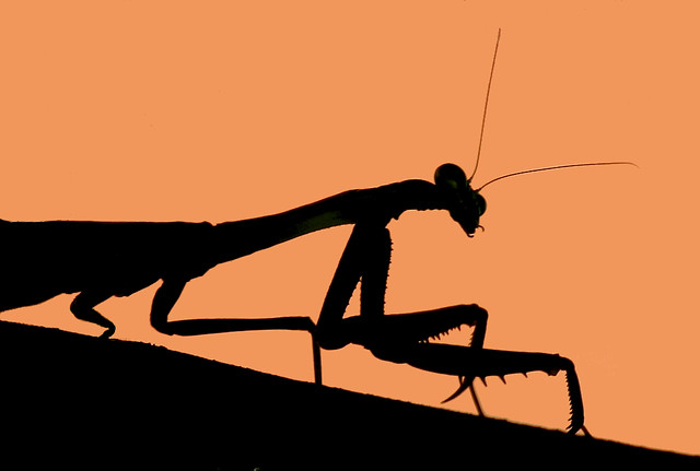 Mantis Silhouette by TexasEagle